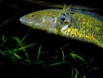 Piękna akwarium ryba, roślina, płazi aksolotl/ zdjęcie royalty free