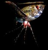 Piękna akwarium ryba, roślina, płazi Pantodon/ Zdjęcie Royalty Free