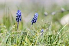 Piękna błękitna roślina w trawie Obrazy Royalty Free