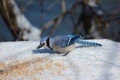 piękna błękitny sójka Zdjęcie Royalty Free
