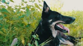 Piękna baca wtykał out jej jęzor i oddycha Zamknięty widok Pies chce pić zdjęcie wideo