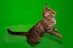 Piękna Bengal kota pozycja na swój tylnych łapach Obrazy Royalty Free
