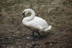 Piękna biała łabędzia ptasia pozycja na ziemi w jesieni, eleg Fotografia Stock