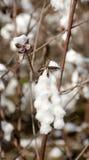 Piękna, biała bawełna na żeńskiej ręce, Obraz Royalty Free