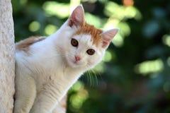 Piękna biała brązu kota szuja i zerknięcie zdjęcie royalty free