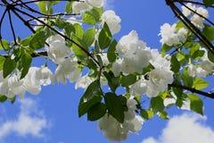 Piękna biała jaśmin gałąź na niebieskiego nieba tle Fotografia Stock