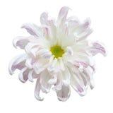 Piękna biała jesień nieregularna incurve chryzantemę Obrazy Royalty Free
