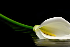 Piękna biała kalii leluja fotografia royalty free