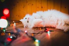 Piękna biała kot fotografia w wysokość kluczu Obraz Stock