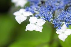 Piękna biała lacecap hortensja Zdjęcia Stock
