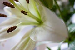Piękna Biała leluja (Lilium candidum) Zdjęcia Royalty Free