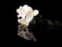 Piękna biała leluja na czarnym tle Obraz Stock