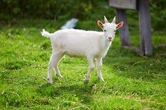 Piękna biała mała kózka na trawie Zdjęcia Royalty Free