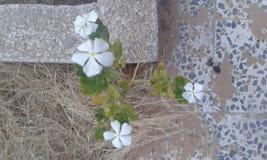 Piękna Biała miłości odpowiedź 1 Obraz Royalty Free