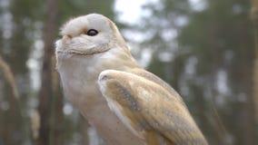 Piękna biała sowa z podbitymi oczami egzamininuje coś w odległości, gryźć zwolnione tempo zbiory wideo