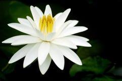 Piękna biała wodna leluja Obraz Royalty Free