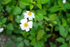 Piękna białych kwiatów tekstura Zdjęcia Stock