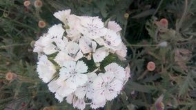 Piękna białych kwiatów wiązka Zdjęcie Stock