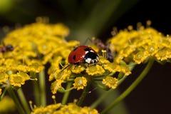 Piękna biedronka siedzi na małych żółtych kwiaty Zwierzęta w przyrodzie Fotografia Stock