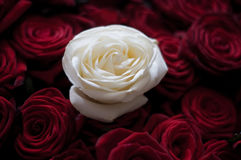 Piękna biel róża wśród czerwonych róż Zdjęcia Royalty Free