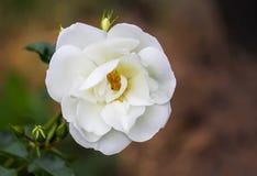 Piękna biel róży roślina w kwiecenie sezonie w lato ogródzie obrazy stock
