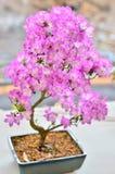 Piękna bonsai kwiatu roślina Fotografia Royalty Free