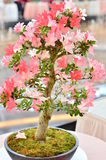 Piękna bonsai kwiatu roślina Zdjęcia Stock