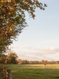 Piękna brown krowa na zieleni ziemi paśnika łasowaniu Fotografia Royalty Free