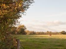 Piękna brown krowa na zieleni ziemi paśnika łasowaniu Zdjęcie Royalty Free