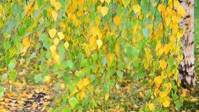 Piękna brzoza z kolorem żółtym opuszcza w jesieni, Rosja zbiory