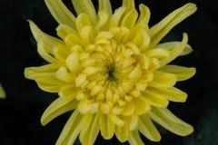Piękna chryzantema jako tło Żółta chryzantema, chryzantemy w jesieni Zdjęcia Stock