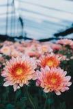 Piękna chryzantema jako tło Pomarańczowa chryzantema, chryzantemy w jesieni Zdjęcia Royalty Free