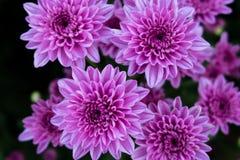 Piękna chryzantema jako tło Różowa chryzantema, chryzantemy w jesieni Fotografia Royalty Free