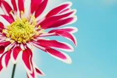 piękna chryzantema kwitnie wiosna fotografia stock