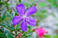 Piękna chwała Bush Zdjęcia Stock