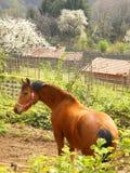 piękna cisawy wiejskiego końskiego Zdjęcie Stock