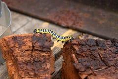 Piękna czarna i żółta gąsienica skrada się na kawałku stary br Zdjęcia Royalty Free