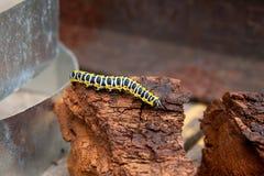 Piękna czarna i żółta gąsienica skrada się na kawałku stary br Zdjęcie Royalty Free