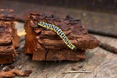 Piękna czarna i żółta gąsienica skrada się na kawałku stary br Obraz Royalty Free