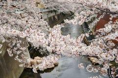Piękna Czereśniowy okwitnięcie nad rzeką - Tokio Zdjęcia Royalty Free