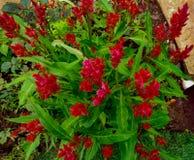 Piękna czerwień kwitnie od wysokiego kąta widoku zdjęcia royalty free