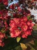 Piękna czerwień kwitnie w wiośnie Zdjęcia Royalty Free
