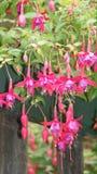 Piękna czerwień ostrza tła piękna ogród kwiatów Obraz Royalty Free