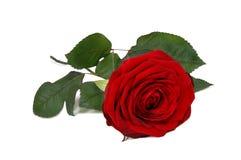 piękna czerwień wzrastał Obraz Royalty Free