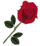 piękna czerwień wzrastał Obrazy Royalty Free