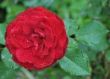 piękna czerwień wzrastał Zdjęcie Royalty Free