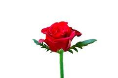 Piękna czerwieni róża zdjęcia royalty free