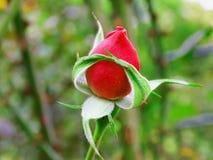 Piękna czerwieni róża jest jak balerina obraz royalty free