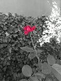 Piękna czerwieni róża która dominuje obraz stock