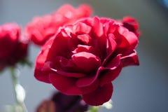 Piękna czerwieni róża na zamazanym tle Fotografia Stock
